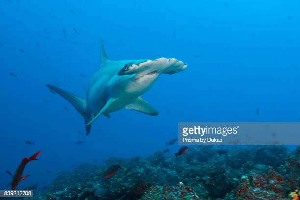 Scalloped Hammerhead Shark Sphyrna lewini Galapagos Wolf Island Ecuador