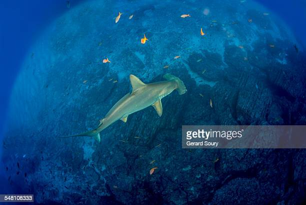 Scalloped Hammerhead Shark swimming over the reef