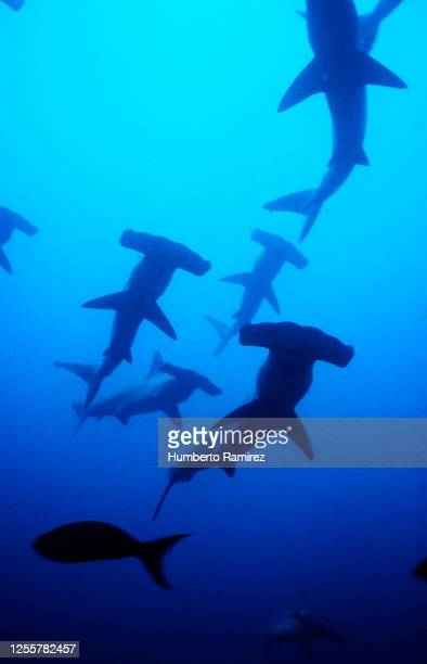 scalloped hammerhead sharks. - hammerhead shark stock pictures, royalty-free photos & images