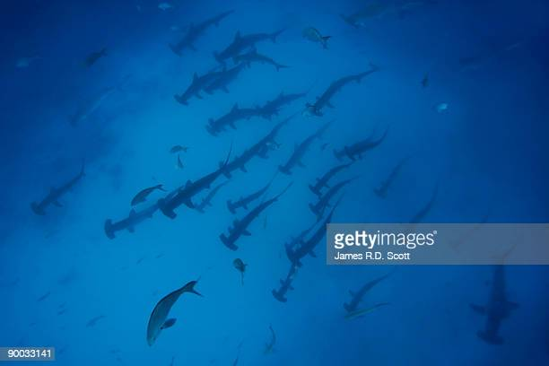 Scalloped Hammerhead Sharks