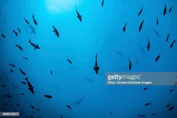 Scalloped hammerhead sharks swim near Cocos Island, Costa Rica.