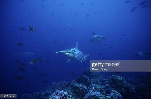 scalloped hammerhead shark,sphyrna lewini, group, galapagos, pacific
