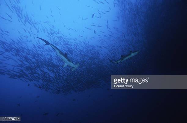 scalloped hammerhead shark,sphyrna lewini,feeding, cocos is, costa rica - hammerhead shark stock pictures, royalty-free photos & images