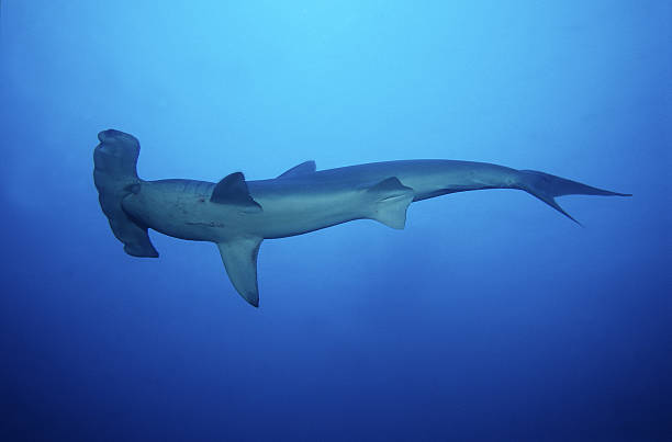 scalloped hammerhead shark,sphyrna lewini,swimming, cocos is, costa rica
