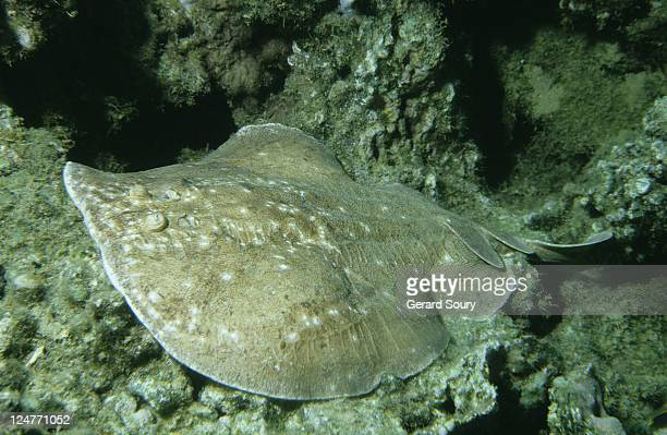 scalloped torpedo ray, torpedo panthera, lying on coral reef, egypt, red sea