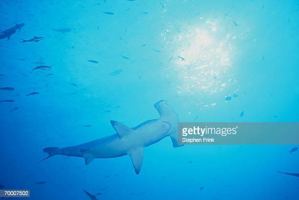scalloped-hammerhead shark (sphyrna lewini) galapagos islands, ecuador - hammerhead shark stock pictures, royalty-free photos & images