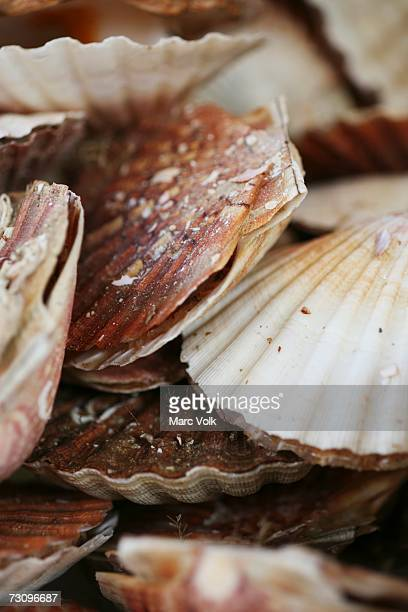 scallops - sea life stock pictures, royalty-free photos & images