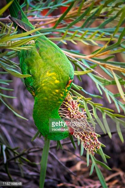 scaly breasted lorikeet (trichoglossus chlorolepidotus) - scaly breasted lorikeet stock photos and pictures