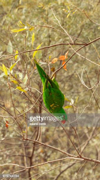 scaly-breasted lorikeet (trichoglossus chlorolepidotus) perching on bush, australia - scaly breasted lorikeet stock photos and pictures