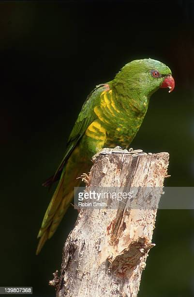 scaly-breasted lorikeet (trichoglossus chlorolepidotus) - scaly breasted lorikeet stock photos and pictures