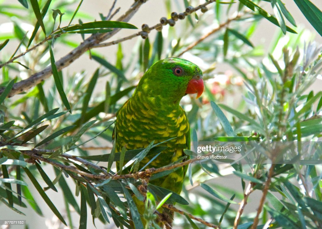 Scaly-breasted lorikeet : Stock Photo