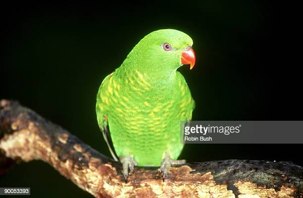 scaly-breasted lorikeet: trichoglossus chlorolepidotus  aust ralia