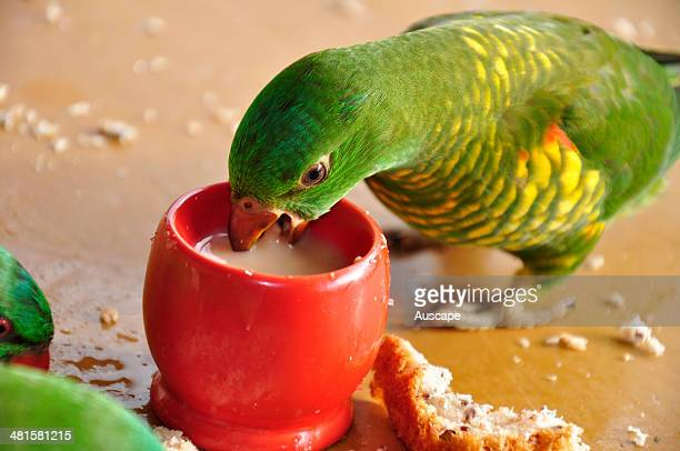 Scalybreasted lorikeet Trichoglossus chlorolepidotus baby bird drinking from ateacup on garden terrace Wauchope New South Wales Australia