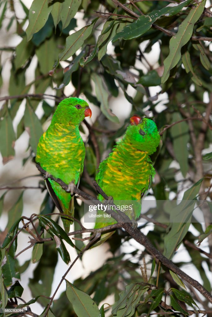 Scaly-breasted Lorikeet, Trichoglossus chlorolepidotus, Brisbane, Australia : News Photo