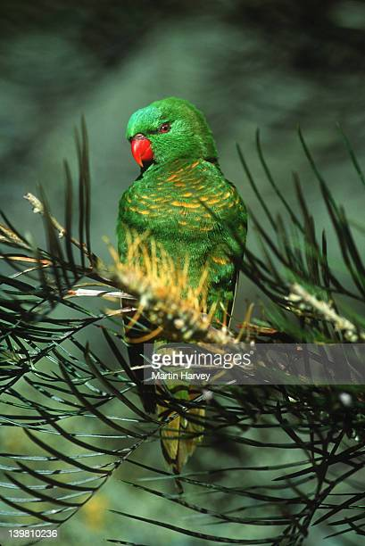 scaly-breasted lorikeet, trichoglossus chlorolepidotus, is the only lorikeet with a plain green head and red bill. australia. - scaly breasted lorikeet stock photos and pictures