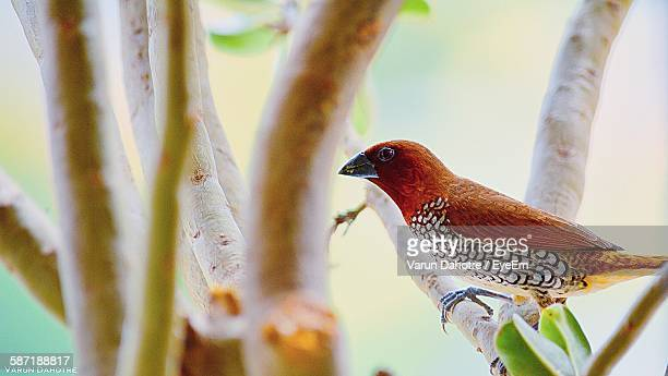 Scaly-Breasted Munia Perching On Tree