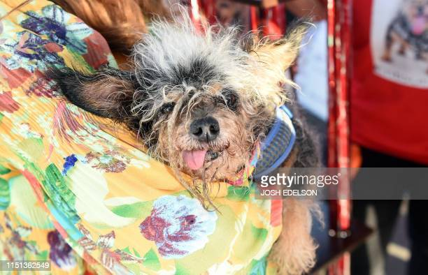 Scamp The Tramp is seen on stage after being announced the winner of the World's Ugliest Dog Competition in Petaluma California on June 21 2019