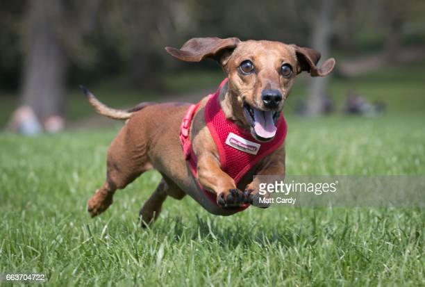 Scampi chases her ball as more than 100 dachshunds and their owners members of the Sausage Dog Club Bath gather in front of the historic Royal...