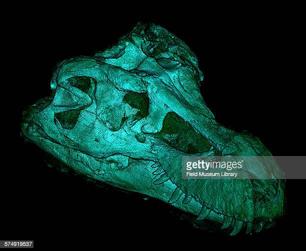 A CT scan showing a top lateral and external view of the skull of Sue a Tyrannosaurus Rex skeleton at the Field Museum in Chicago Illinois September...