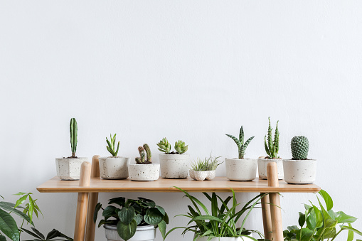 Scandinavian room interior with plants, cacti and succulents composition in design and hipster pots on the brown shelf. White walls. Modern and floral concept of home garden. Nature love. 1125385814