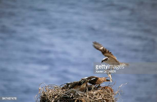 Scandola Nature Reserve Corsica male bringing a mulet back to the nest and young ospreys in the nest Réserve naturelle de Scandola Corse mâle...