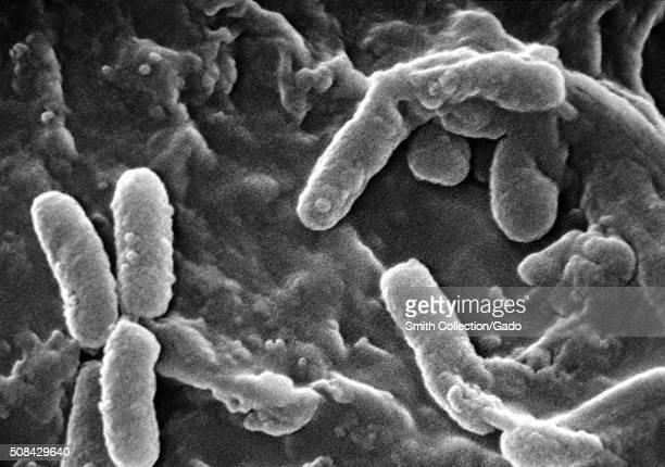 Scanning electron micrograph of Pseudomonas aeruginosa bacteria Image courtesy CDC/Janice Haney Carr 1984