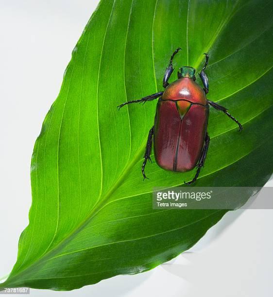 Scarab beetle on leaf