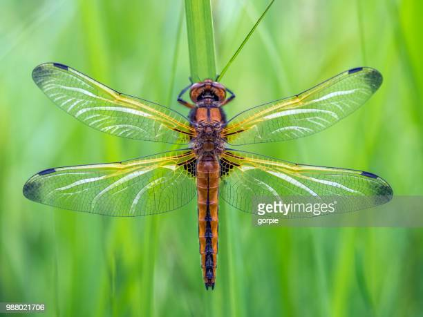 A scarce chaser.