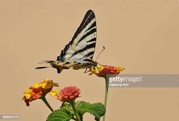scarce swallowtail butterfly -iphiclides podalirius- on shrub verbena, stalida, stalis, crete, greece, europe - animal digestive system stock photos and pictures
