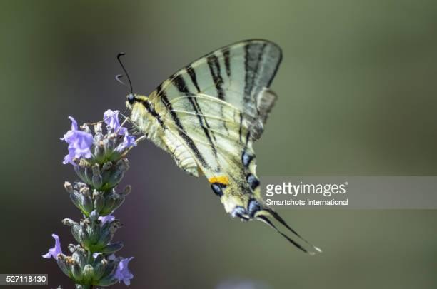"""""""scarce swallowtail"""" (""""iphiclides podalirius"""") portrait feedeing on lavender in italy - farfalla a coda di rondine foto e immagini stock"""