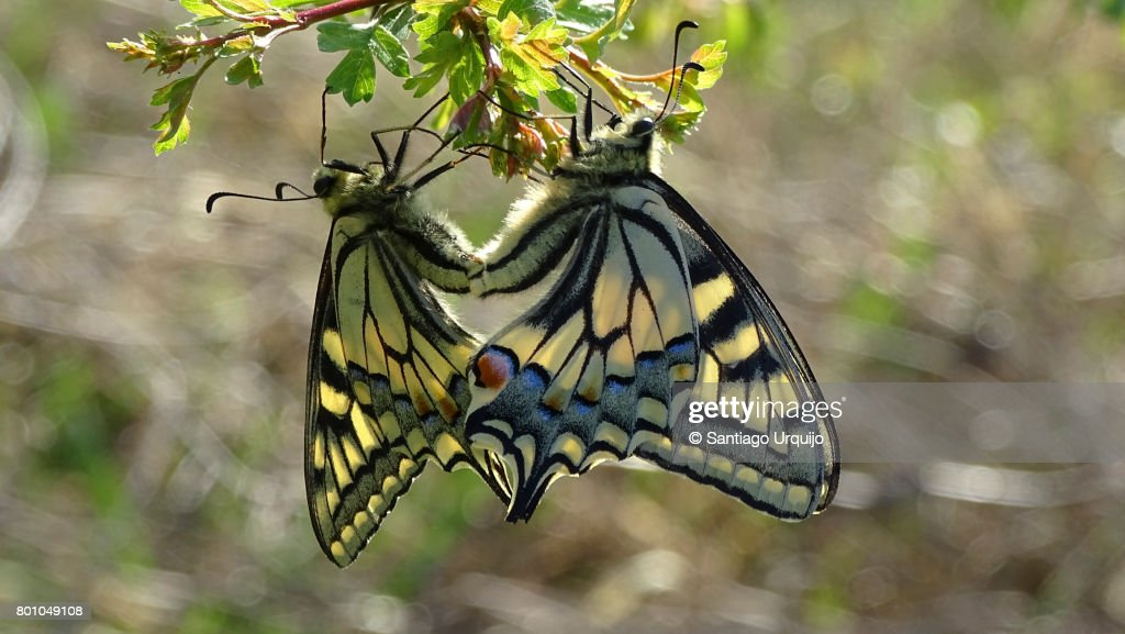 #PM Crisis# - Page 2 Scarce-swallowtails-mating-picture-id801049108