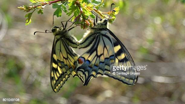 Scarce swallowtails mating
