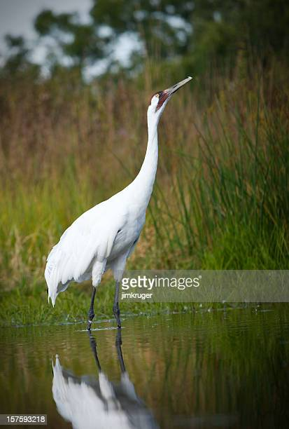 Scarce whooping crane in wetland setting.