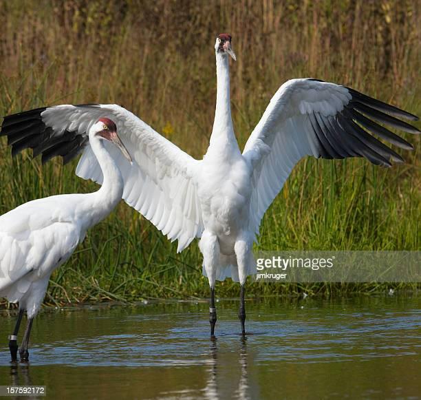 Scarce whooping crane pair in wetland setting.