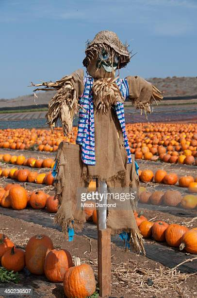 Scarecrow at pumpkin patch