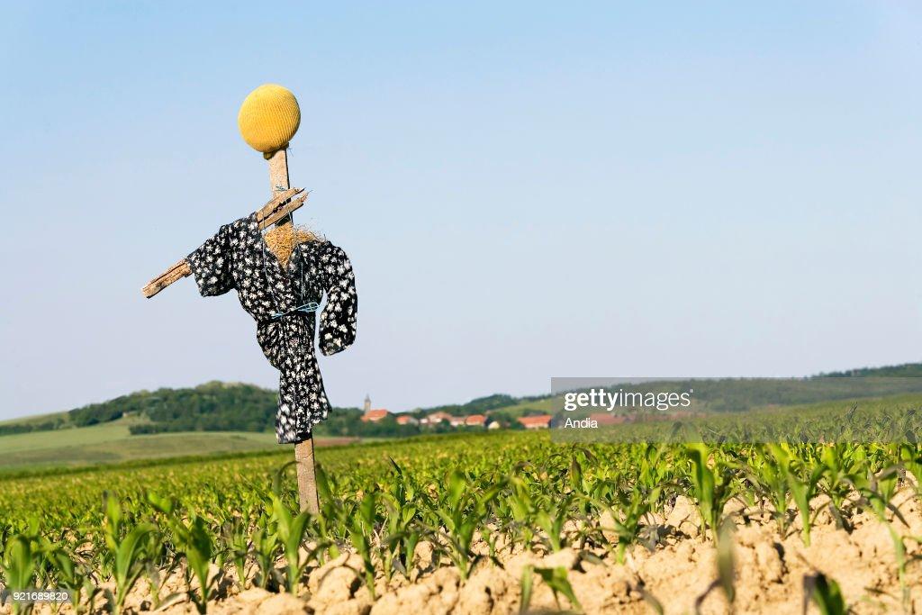 Scarecrow. : News Photo