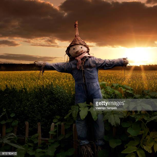 a scarecrow in a field. - scarecrow agricultural equipment stock photos and pictures