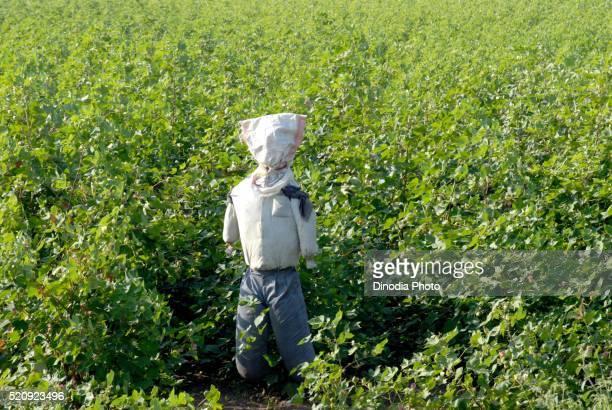 Scarecrow in cotton plant field, Amreli, Gujarat, India