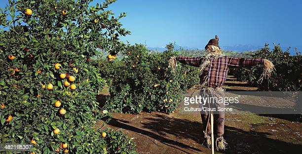 scarecrow in orange grove - scarecrow agricultural equipment stock photos and pictures