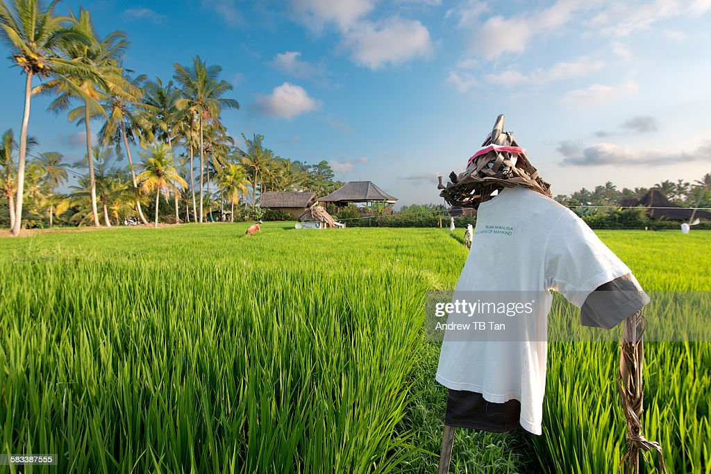 Scarecrow on rice field : Stock Photo