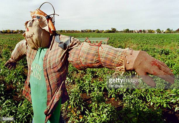 A scarecrow works the fields October 4 2000 at Didier Farms in Prairie View IL