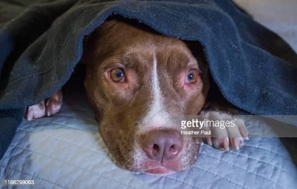 scared dog laying on a bed with head under a blanket - medo imagens e fotografias de stock