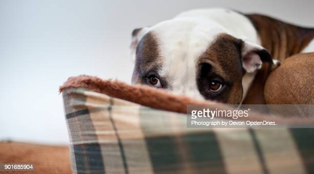 scared dog sitting in dog bed - fear stock pictures, royalty-free photos & images