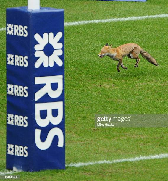 A scared fox wanders round the pitch prior to the RBS Six Nations match between England and Scotland at Twickenham Stadium on March 13 2011 in London...