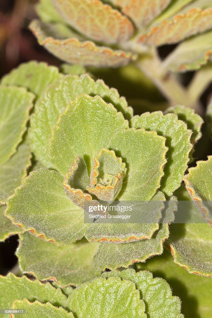 Scaredy Cat Plant Coleus Canina Hybr Drives Away Cats And Dogs