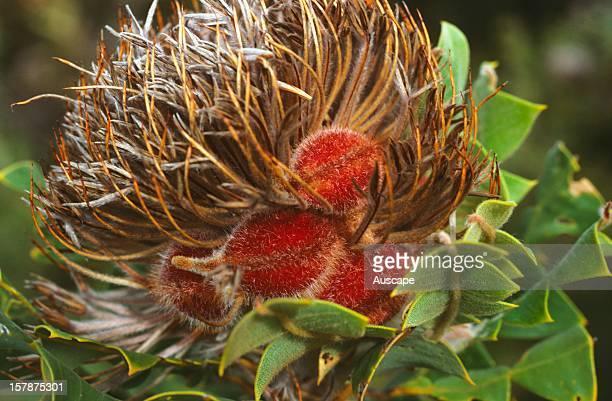 Scarlet banksia fertilised head Bremer Bay Western Australia