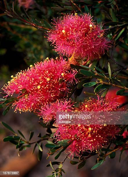 Scarlet honeymyrtle flower detail Murchison Gorge Western Australia