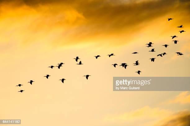 scarlet ibis (eudocimus ruber) caroni swamp, trinidad, trinidad & tobago - vogelschwarm formation stock-fotos und bilder