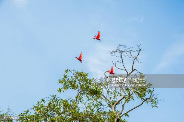 Scarlet Ibis Flying