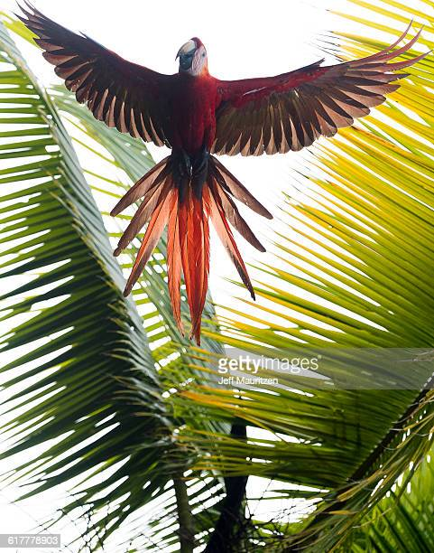 A scarlet macaw, Ara macao, in flight above Corcovado National Park, Costa Rica.